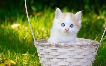 трава, кот, мордочка, усы, кошка, взгляд, котенок, корзинка