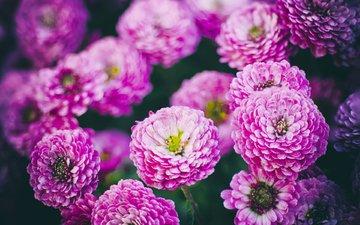 flowers, petals, chrysanthemum, roksana bashyrova