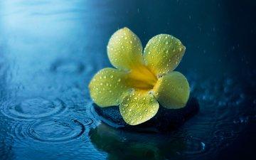 цветок, капли, дождь, лужа, алламанда