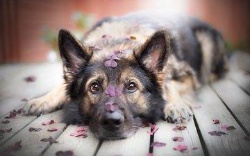 schnauze, blütenblätter, blick, hund, deutscher schäferhund, ilona mikkonen, hölzerne oberfläche