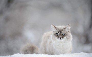снег, зима, кот, мордочка, усы, кошка, взгляд