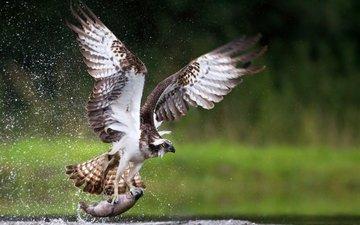 крылья, брызги, птица, клюв, перья, коршун, рыба, добыча