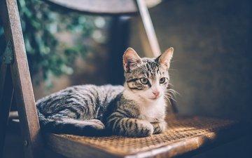 кот, мордочка, усы, кошка, взгляд, стул, дом