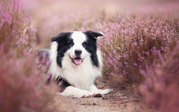 flowers, muzzle, look, dog, language, the border collie, alicja andrukajtis