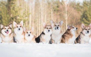 schnee, winter, freunde, hunde, welsh corgi, corgi, pembroke