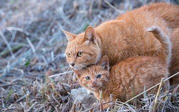 трава, усы, кошка, взгляд, котенок, кошки, мордочки