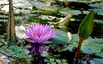 листья, цветок, лепестки, пруд, кувшинка, нимфея, водяная лилия