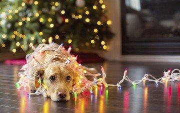 das neue jahr, weihnachtsbaum, hund, strähnen, girlande, retriever, karolina yen