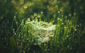 трава, макро, утро, роса, капли, боке, паутинка, evgenia frolova