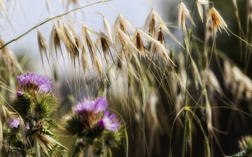 flowers, grass, nature, plants, macro, spikelets, thistle, theophilos papadopoulos