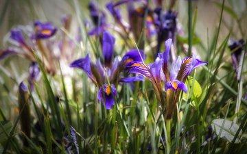 blumen, gras, blütenblätter, schwertlilien, iris, theophilos papadopoulos