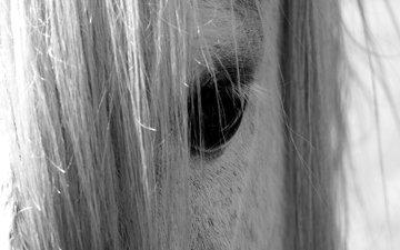 лошадь, взгляд, чёрно-белое, глаз, конь, грива, nino plutino