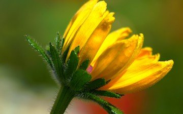 gelb, makro, hintergrund, blume, blütenblätter, stiel