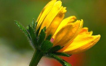 желтый, макро, фон, цветок, лепестки, стебель