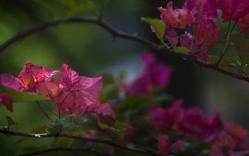 flowers, plant, bougainvillea