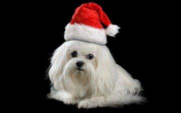 das neue jahr, schnauze, blick, hund, schwarzer hintergrund, mütze, schoßhund, maltesische schoßhund