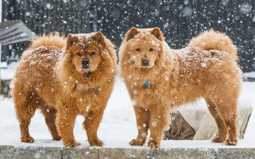 snow, winter, dogs, chow