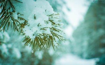 ветка, снег, хвоя, зима, макро, сосна