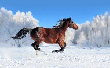 лошадь, снег, зима, конь, грива, бег, хвост