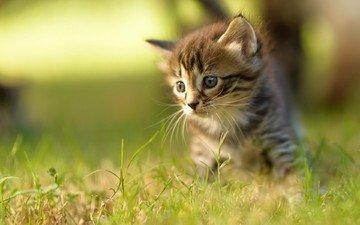 трава, кот, мордочка, усы, кошка, взгляд, котенок