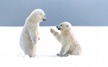 снег, зима, медведи, арктика, белые медведи