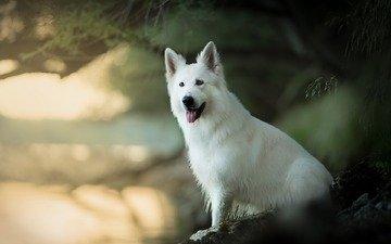 мордочка, взгляд, собака, язык, боке, белая швейцарская овчарка