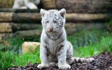 мордочка, кошка, взгляд, хищник, тигренок, дикая кошка, белый тигр
