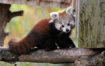schnauze, blick, panda, der rote panda, kleiner panda, bambus-bär