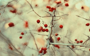 nature, macro, branches, blur, berries, fruit