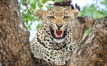 морда, леопард, хищник, большая кошка, зубы
