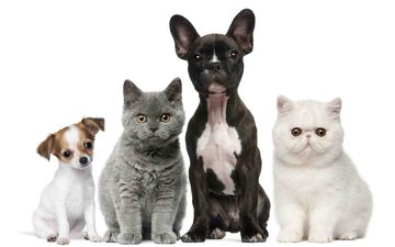 cats, puppies, kids, kittens, dogs, british, french bulldog, chihuahua, exotic
