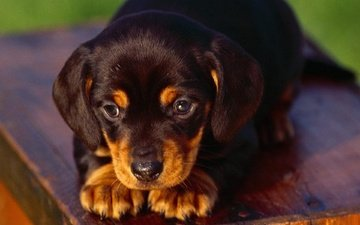 muzzle, look, dog, puppy, dachshund