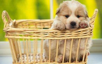 мордочка, взгляд, собака, щенок, корзинка