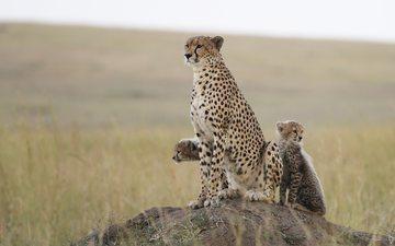 natur, raubtier, gepard, geparden, jungtiere