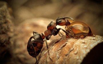 макро, насекомое, капля, муравей, сухой лист