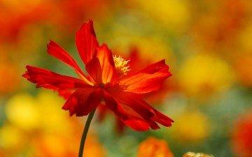 blume, blütenblätter, unschärfe
