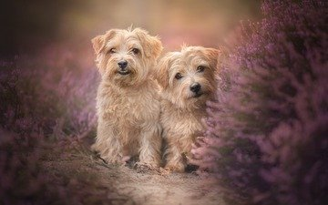 flowers, look, dogs, faces, terrier, heather, alicja zmysłowska, the norfolk terrier