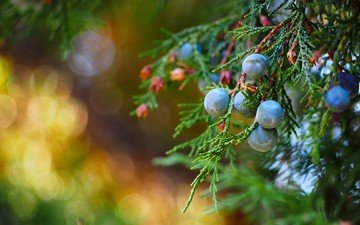macro, branches, berries, fruit, juniper
