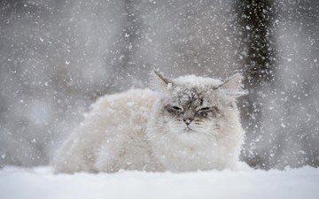 снег, зима, кот, мордочка, усы, кошка, взгляд, снегопад