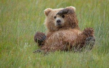 трава, медведь, хищник, игра, животное, медвежонок