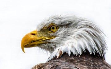 морда, орел, профиль, птица, клюв, перья, белоголовый орлан