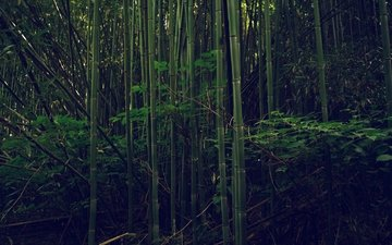 trees, forest, foliage, bamboo