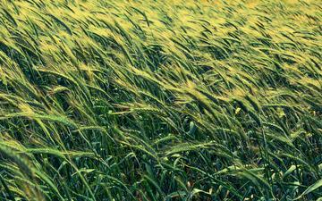 feld, ähren, weizen, gräser, gerste
