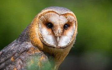 сова, фон, взгляд, хищник, птица, клюв, перья, сипуха