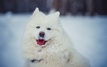muzzle, look, dog, language, samoyed, the samoyed