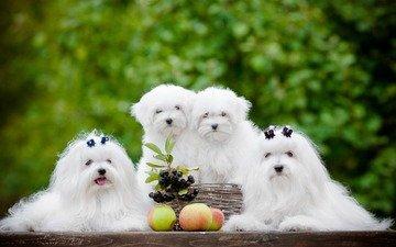 äpfel, beeren, welpen, hunde, quartet, shihtzu, maltesische schoßhund, maltese