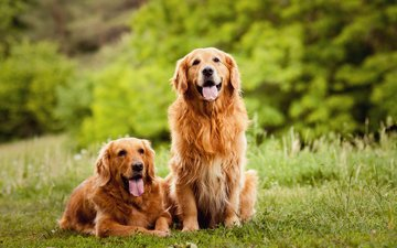 gras, sprache, hunde, golden retriever