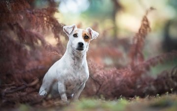 muzzle, look, dog, jack russell terrier