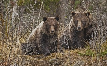 лес, медведь, хищник, медведи
