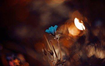 sunset, macro, flower, bokeh, blue flowers